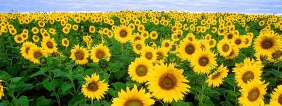 Iubesc Floarea Soarelui